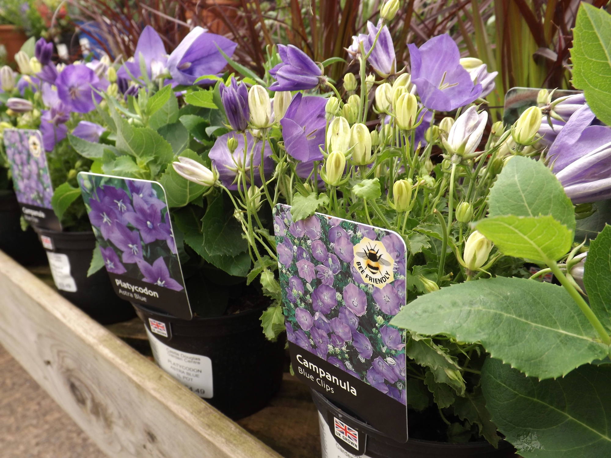 Campanula at Castle Douglas Garden Centre