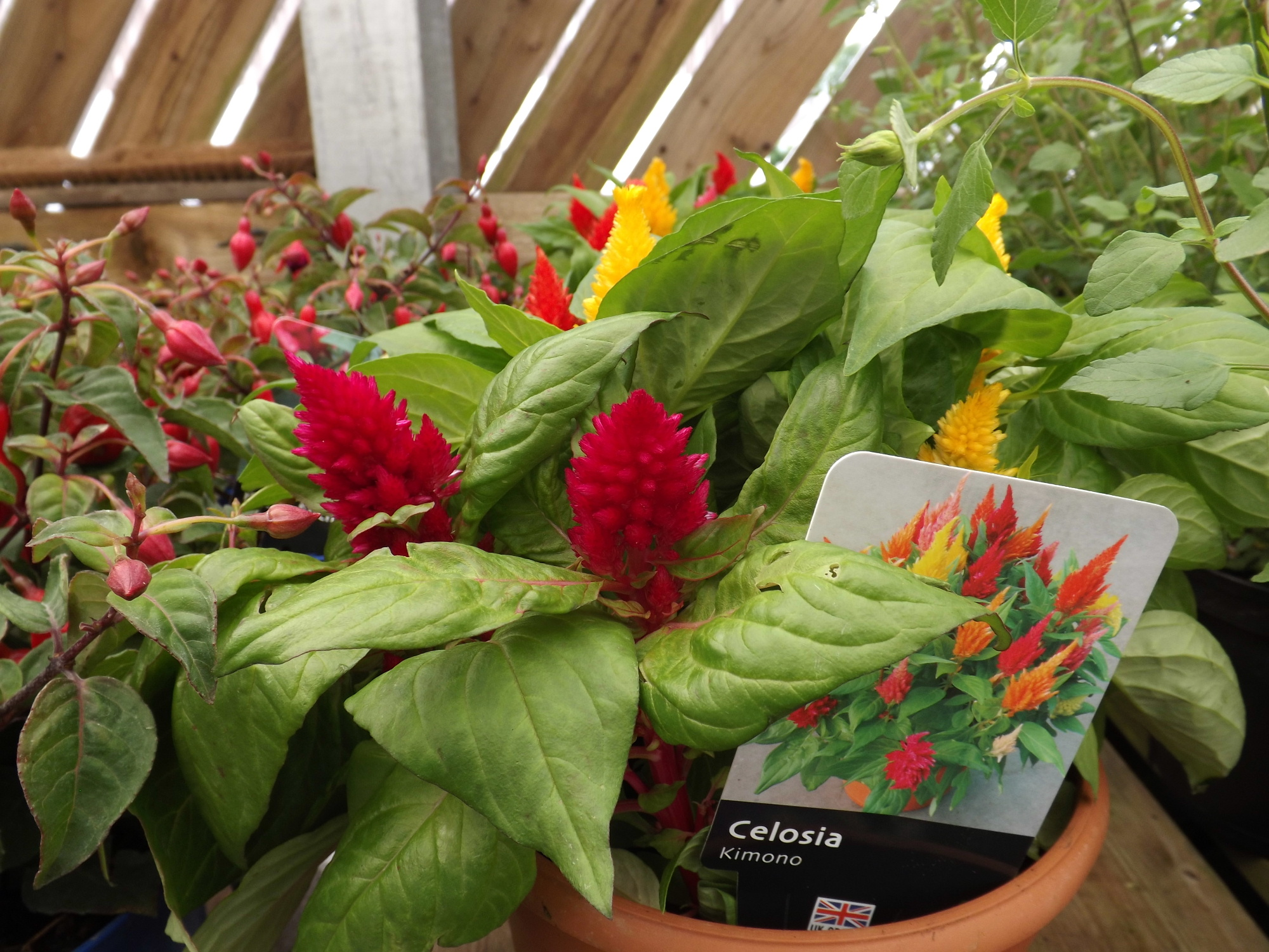 Celosia add a spalsh of colour to your garden at The Castle Douglas Garden Centre