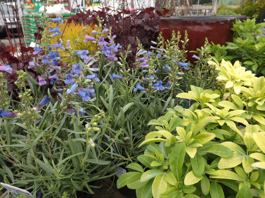 Penstemon and Chooisya (Mexican Orange Blossom) at Castle Douglas Garden Centre