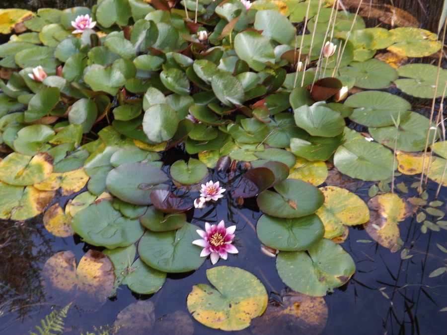Water lillies in the pond at Glentrool Camping and Caravan Site near Newton Stewart Scotlland