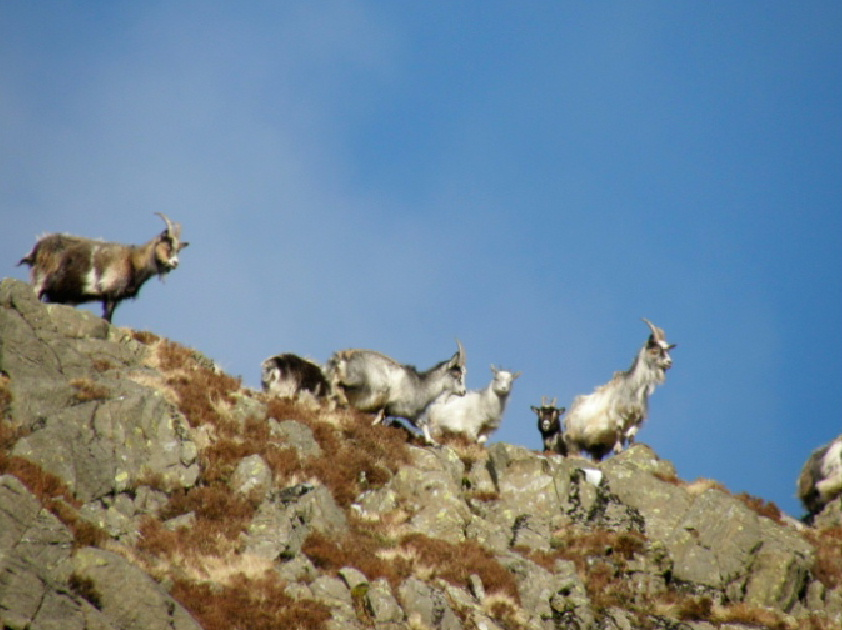 Wild goats in the Galloway Forest Park