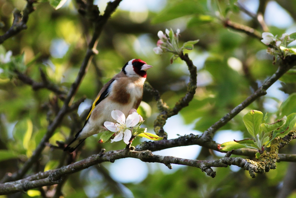 Goldfinch on Apple