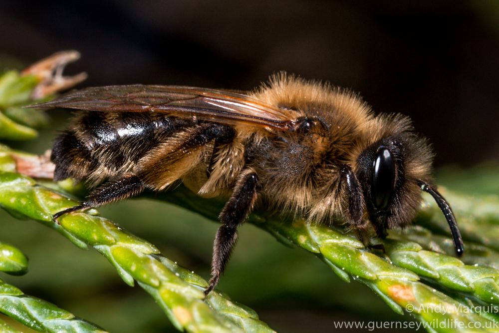 Andrena trimmerana 5976