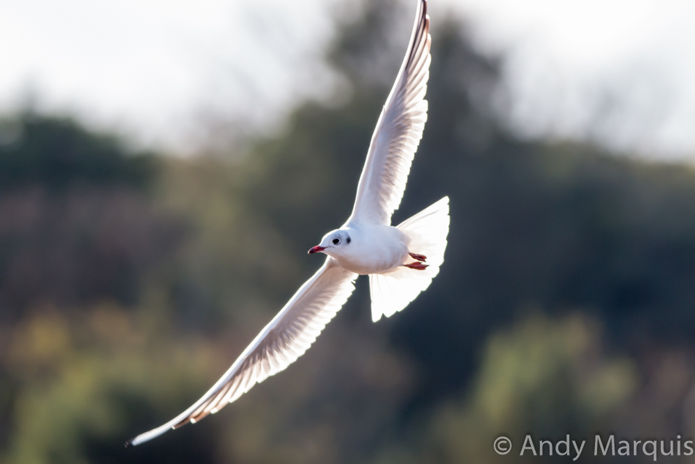 Black headed Gull 6555
