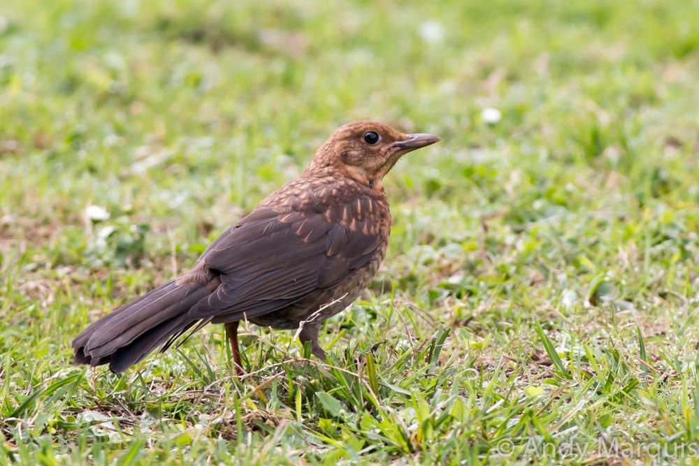 Blackbird 8900