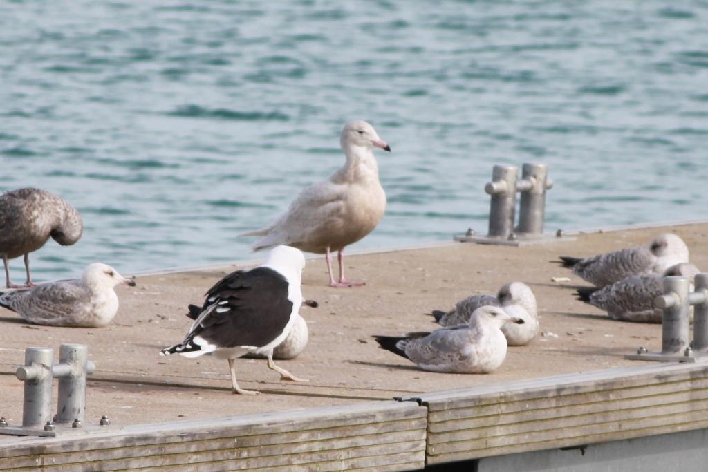 Glaucous Gull 0768