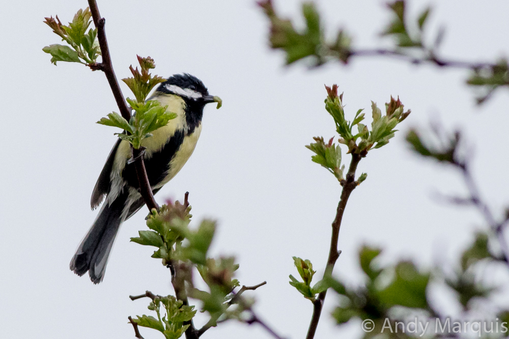 Great Tit 7042