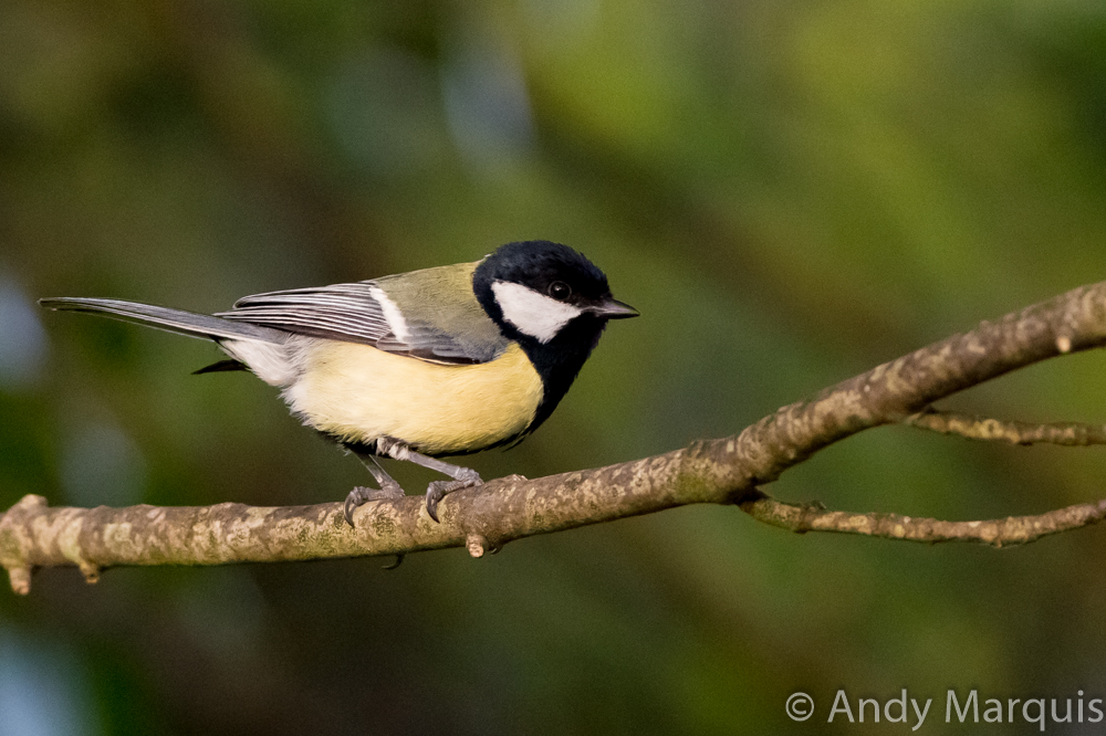 Great Tit 7069