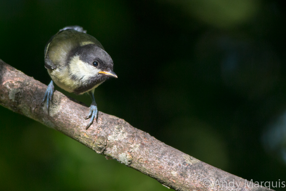 Great Tit 8229