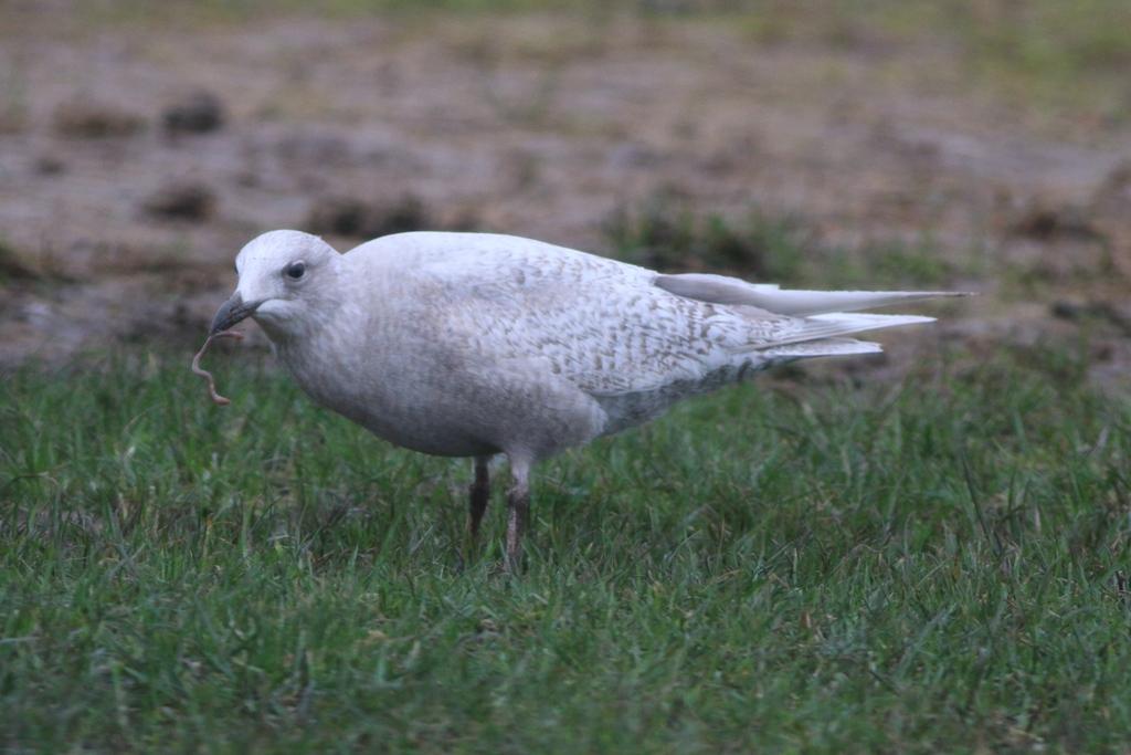 Iceland Gull 0163