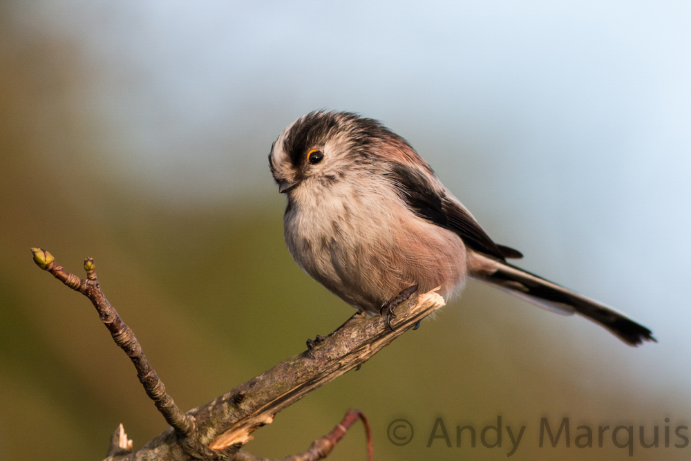 Long-Tailed Tit 0811