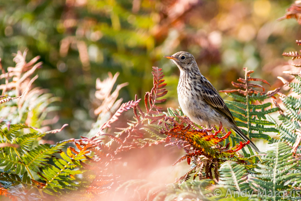 Meadow Pipit 0403
