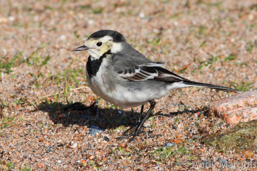 Pied Wagtail 0185
