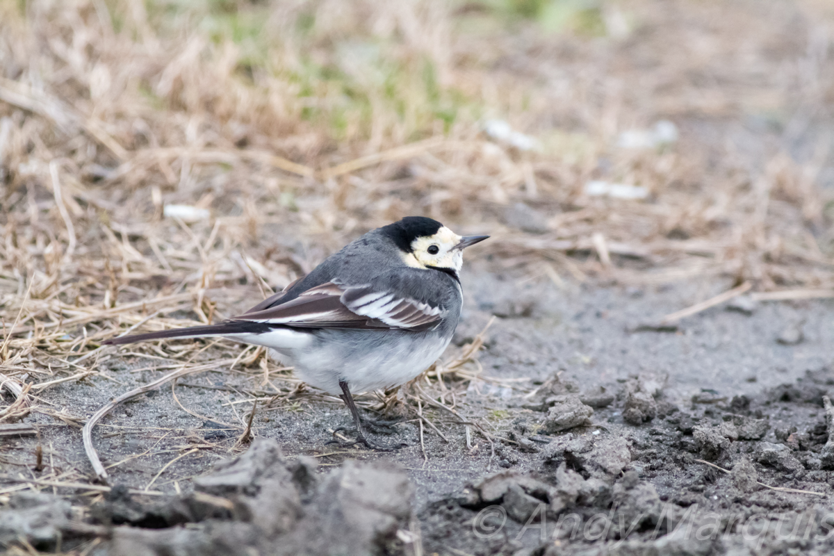 Pied Wagtail 0965