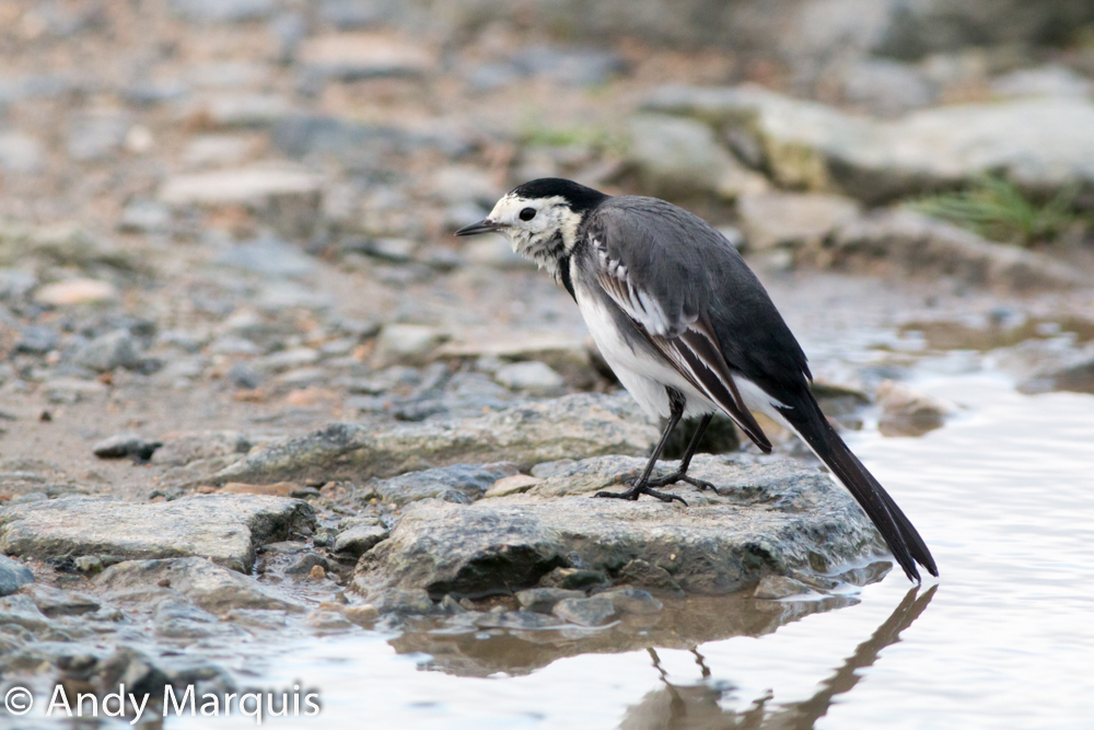 Pied Wagtail 4424