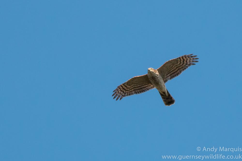 Sparrowhawk 0003
