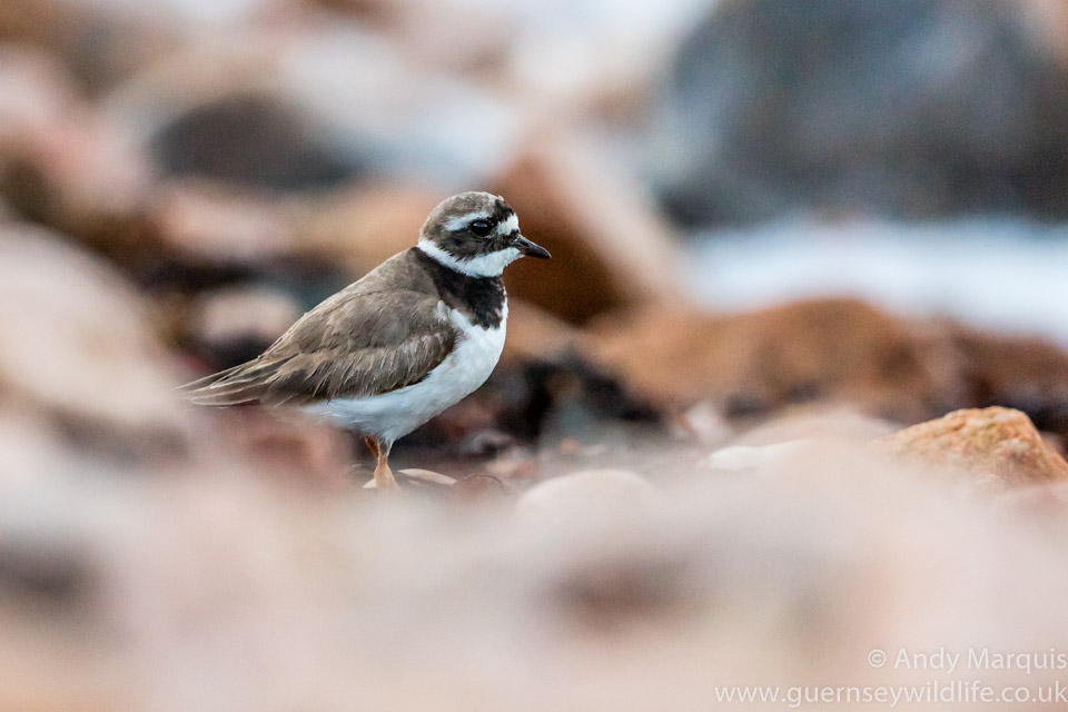 Ringed Plover 0059