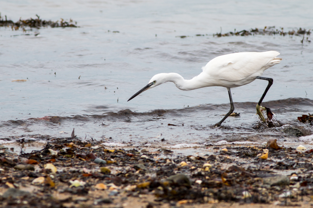 Little Egret 0080