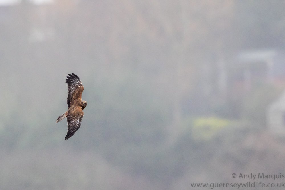 Marsh Harrier 0095