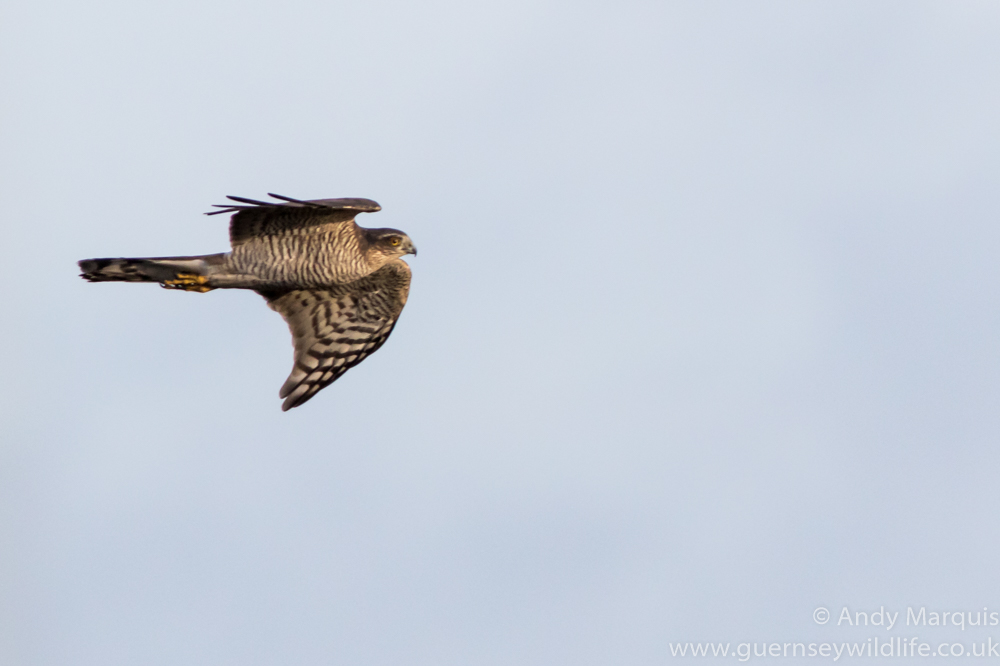 Sparrowhawk 0096