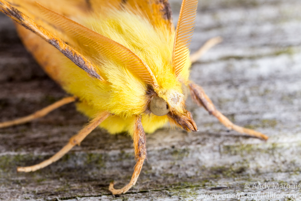 Canary Shouldered Thorn 0145