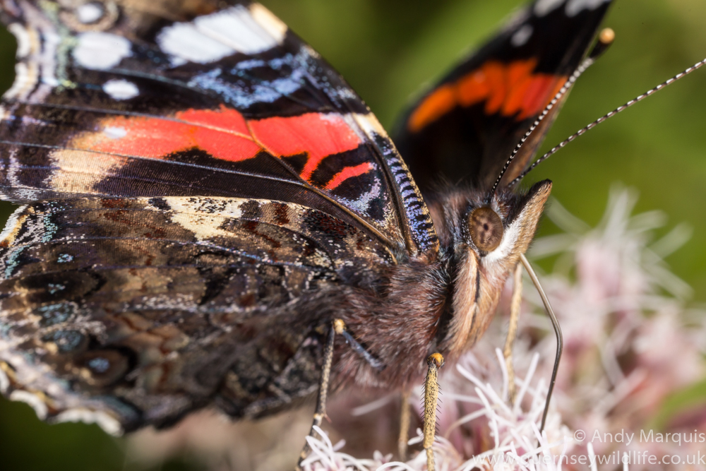 Red Admiral 0194