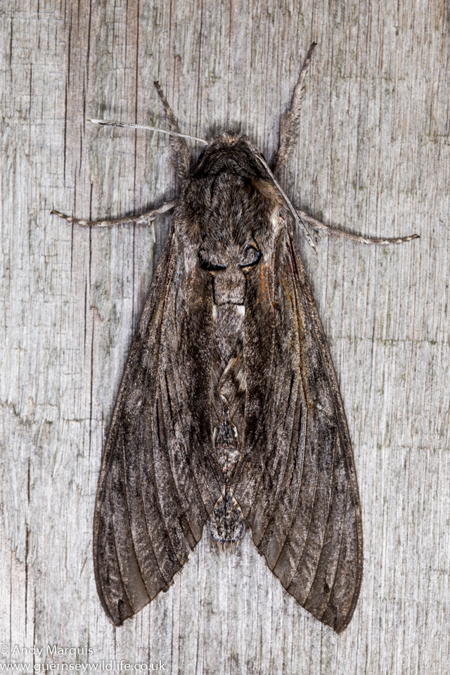 Convulvulous hawk-moth 0231