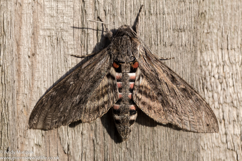 Convulvulous Hawk-moth 0240