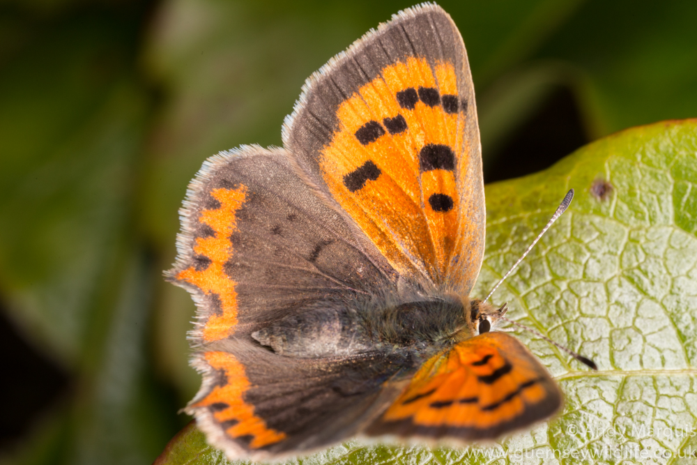 Small Copper 0242