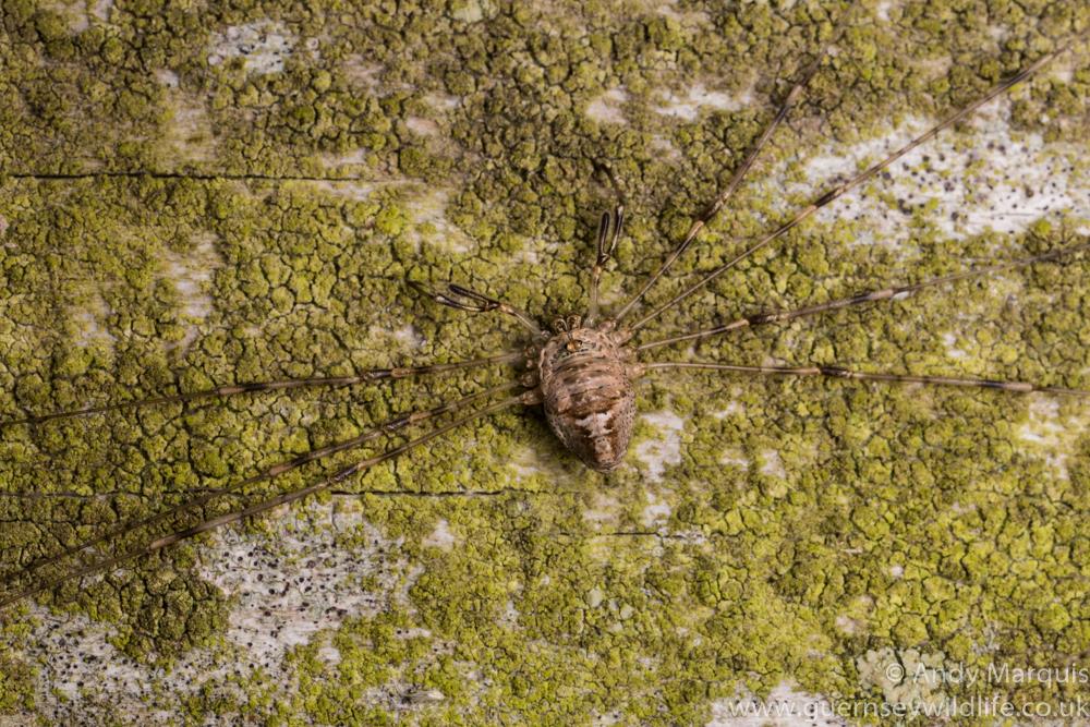 Dicranopalpus ramosus 0257