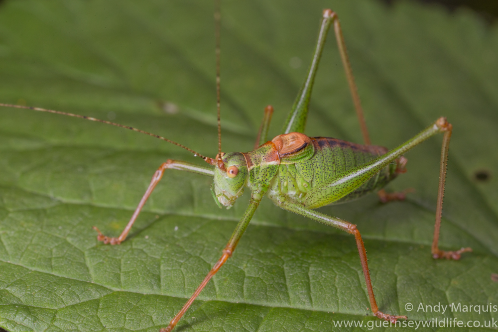 Speckled Bush Cricket 0271