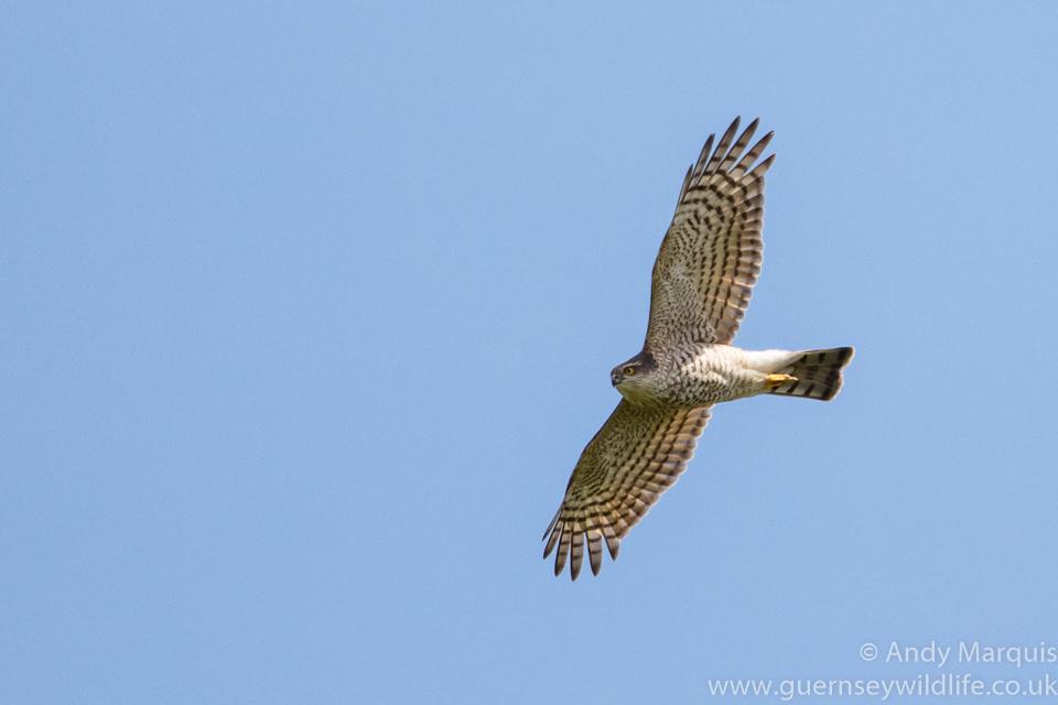 Sparrowhawk 0298