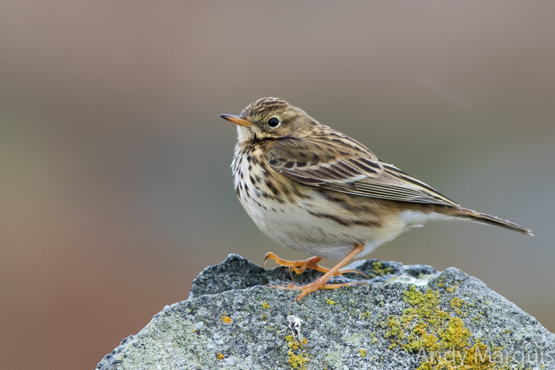 Meadow Pipit 0355