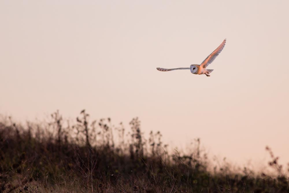 Barn Owl 0359
