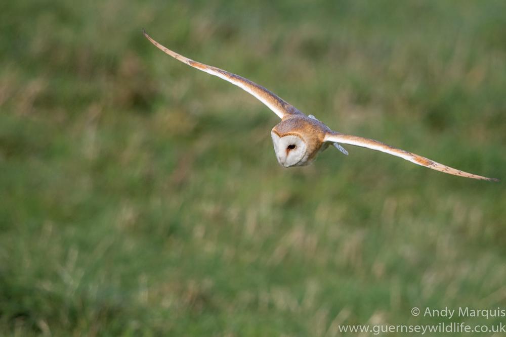 Barn Owl 0370
