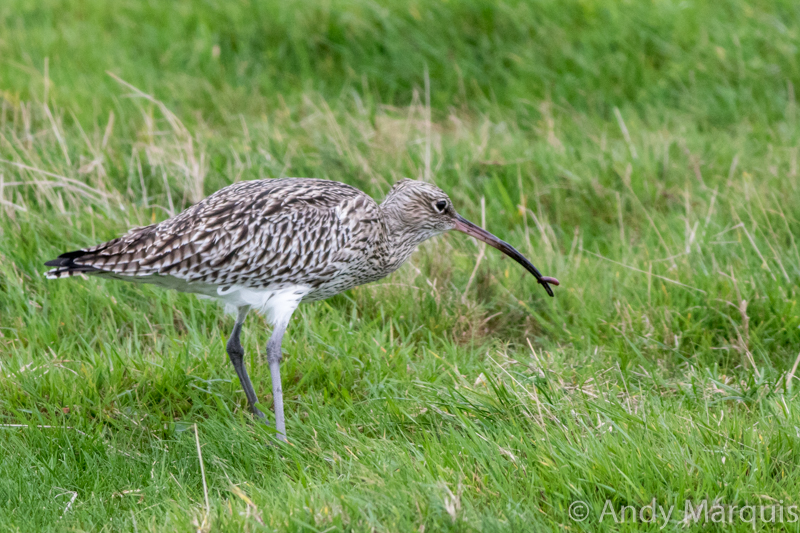 Curlew 0390