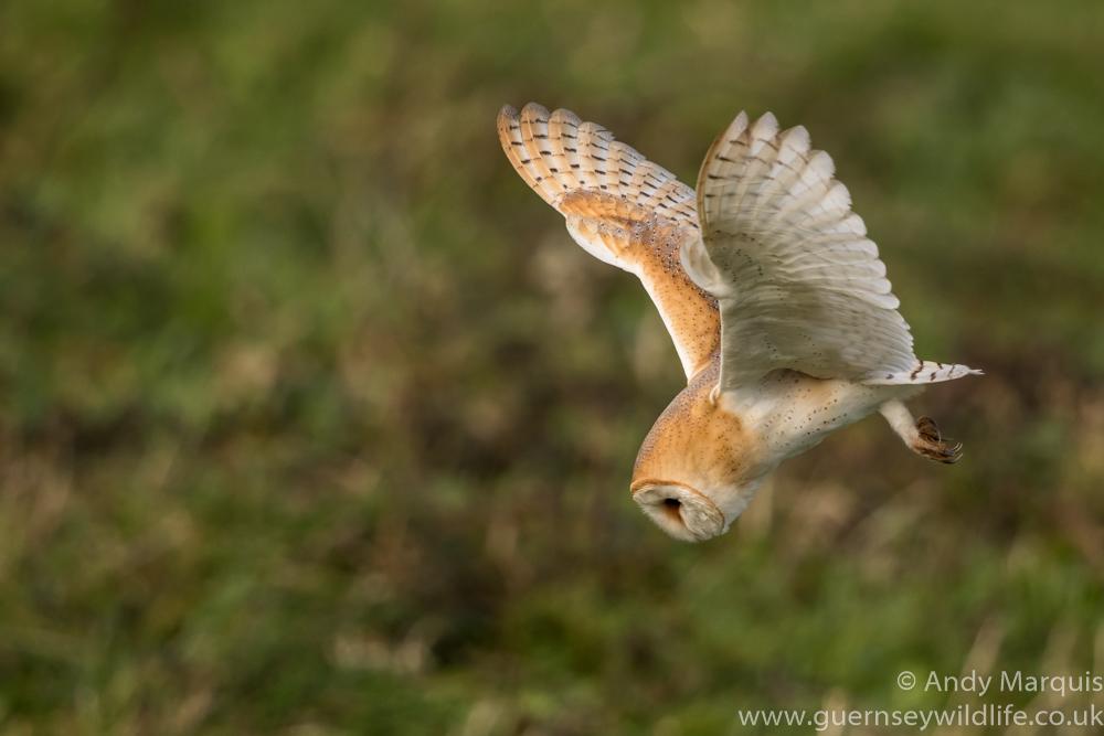 Barn Owl 0422