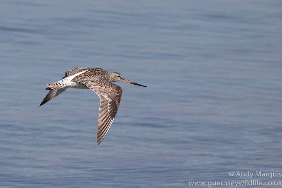 Bar-tailed Godwit 0435
