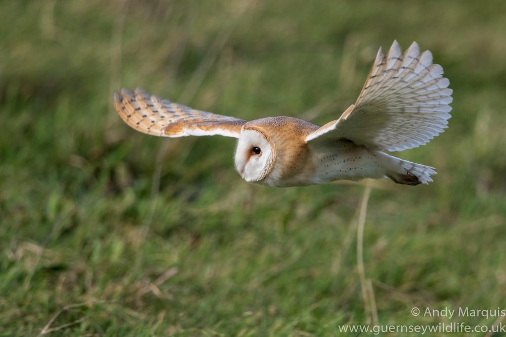 Barn Owl 0442