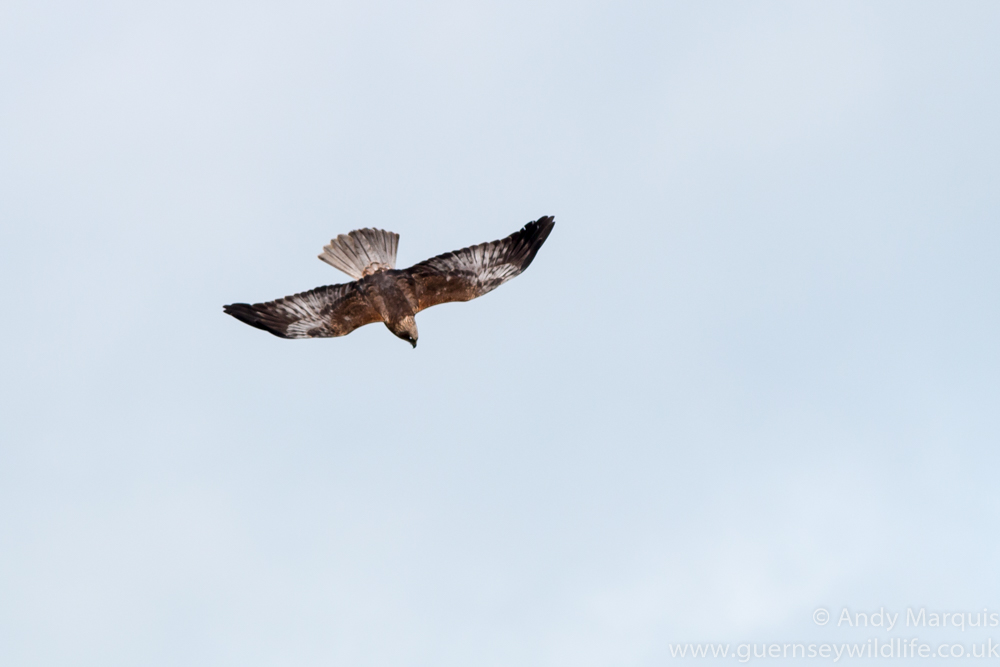 Marsh Harrier 0451