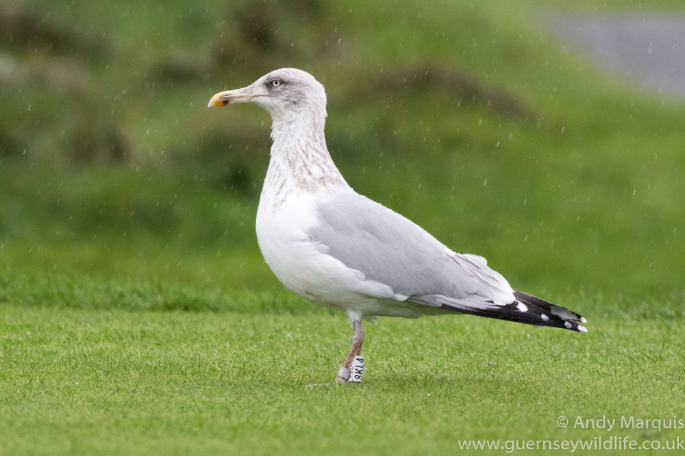 Herring Gull 0461
