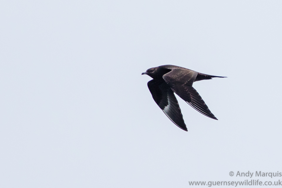Arctic Skua (Dark Phase) 0487