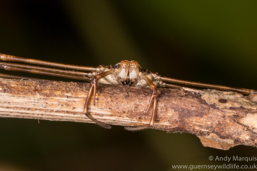 Dicranopalpus ramosus 0601