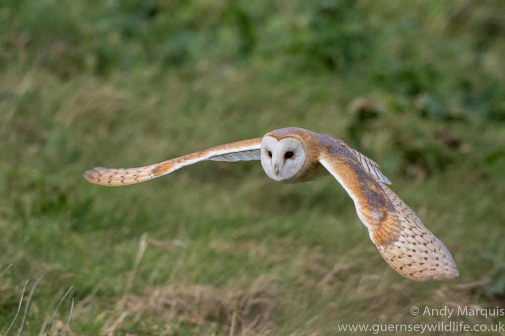 Barn Owl 0754