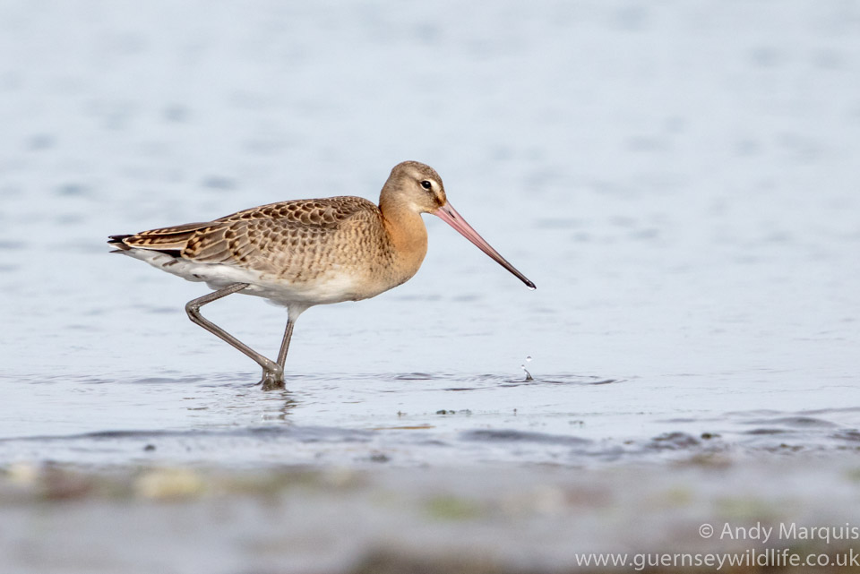 Black-tailed Godwit 0765