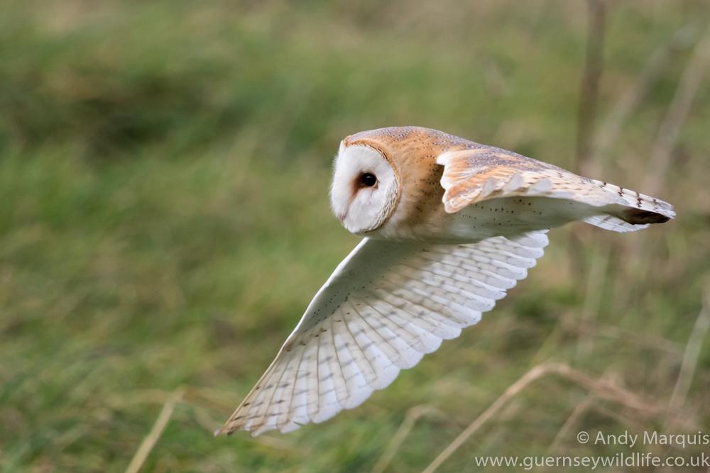 Barn Owl 0777
