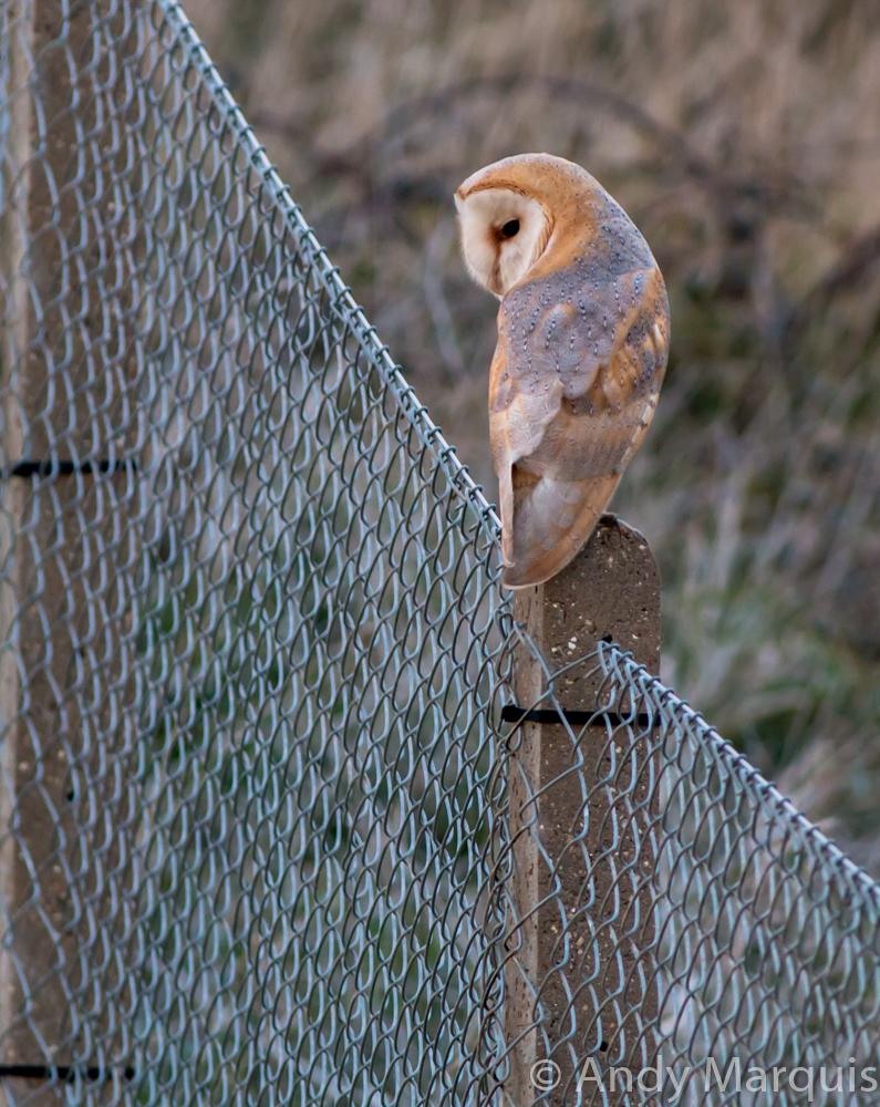 Barn Owl 0848