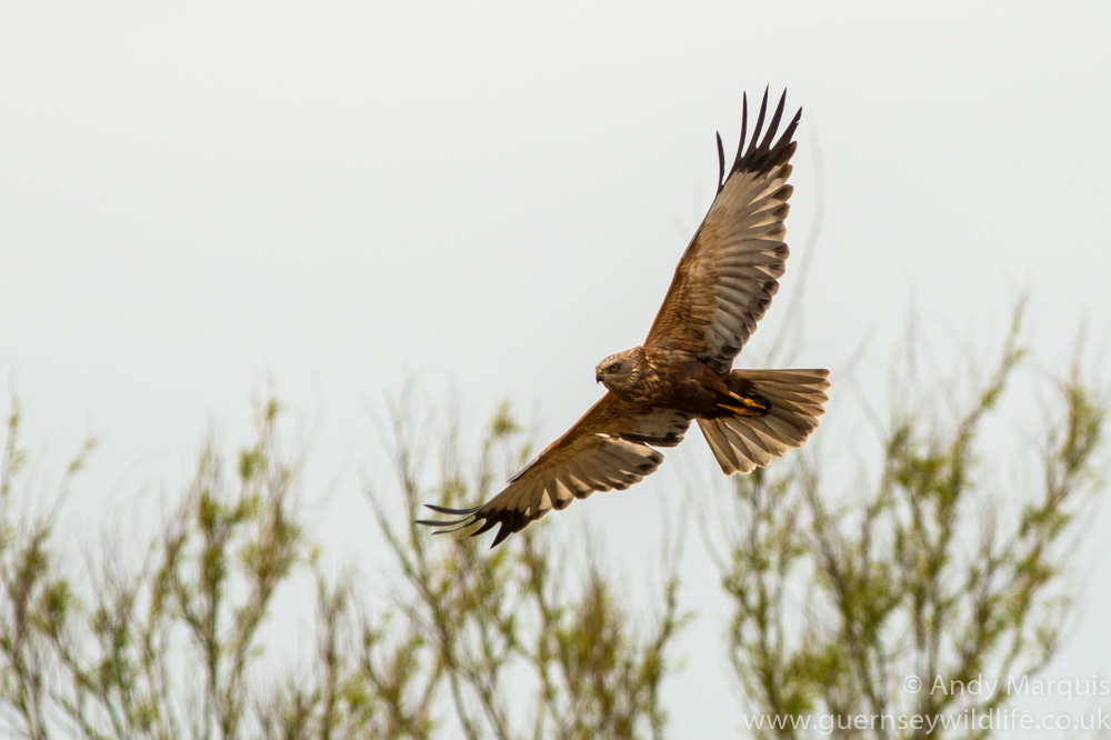 Marsh Harrier 0966
