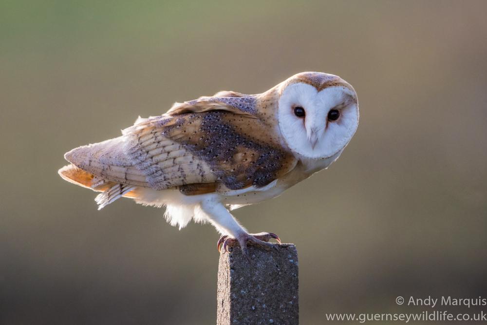 Barn Owl 0970
