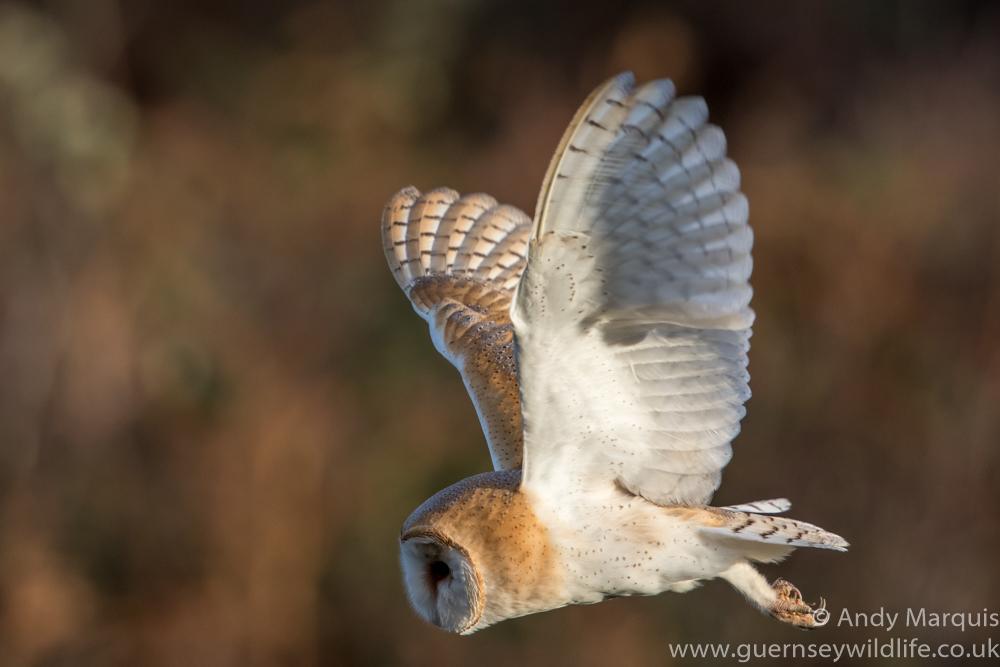 Barn Owl 1083